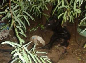 cane thailandese