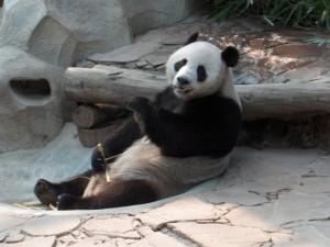 Panda zoo Chiang Mai - Thailandia