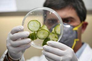 foto cetriolo infettato dal batterio controllo in laboratorio